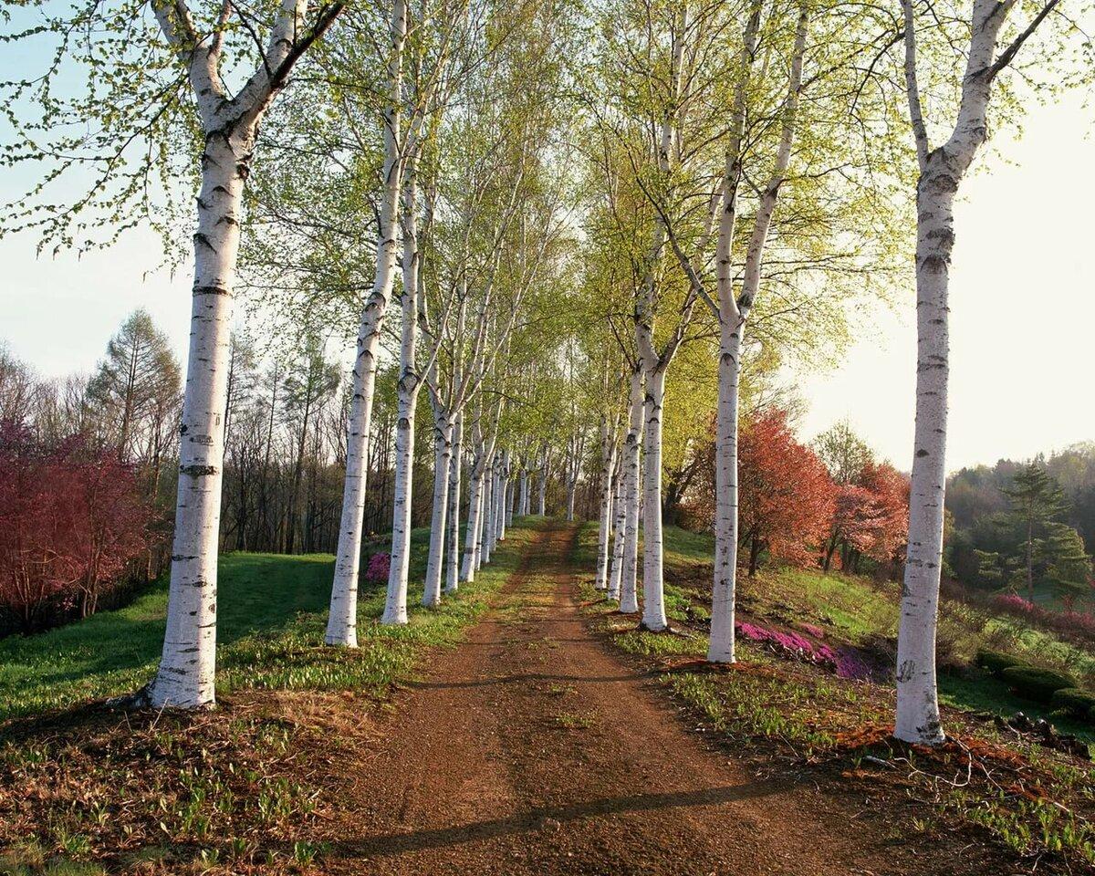 береза картинки весна лето осень снят при