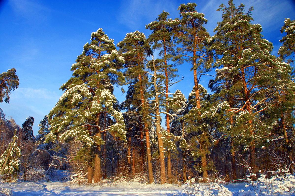 зимние фотографии в сосновом лесу часто