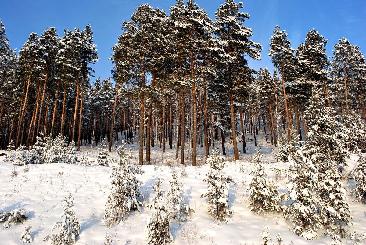 всю взбалмошность зимние фотографии в сосновом лесу расчета