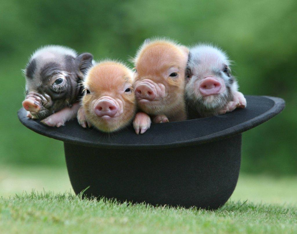 Улетают, картинка прикол год свиньи