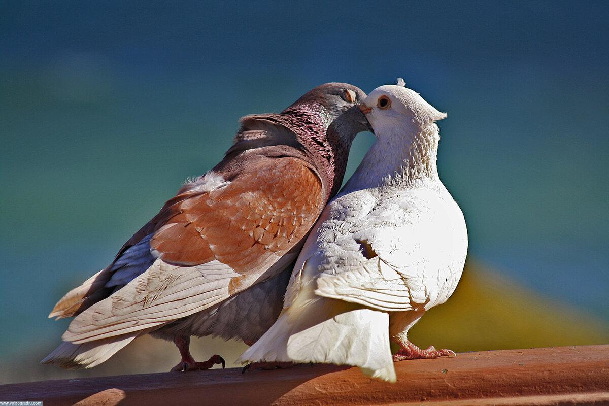 Красивые голуби фотографии