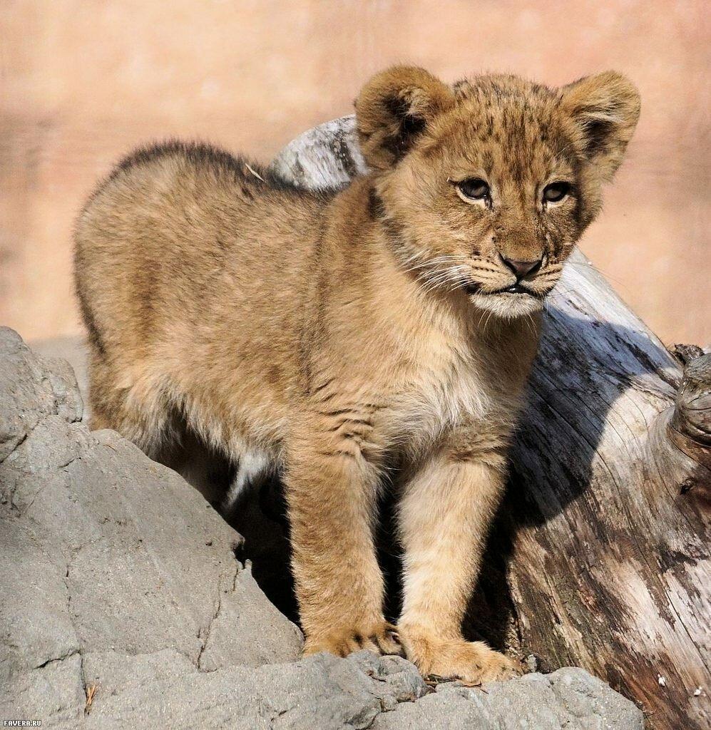 фото львенка в хорошем качестве образ очень идет