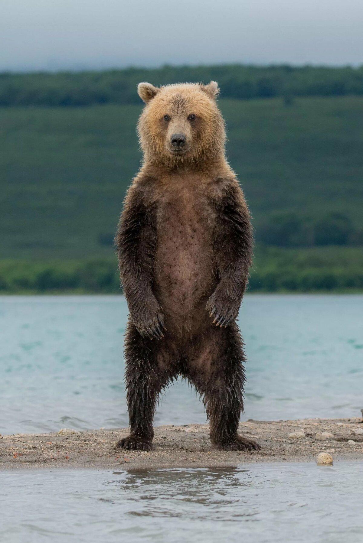 Картинки медведей где стоят