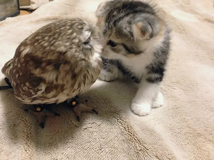 тематика картинки совы и котенка уход при