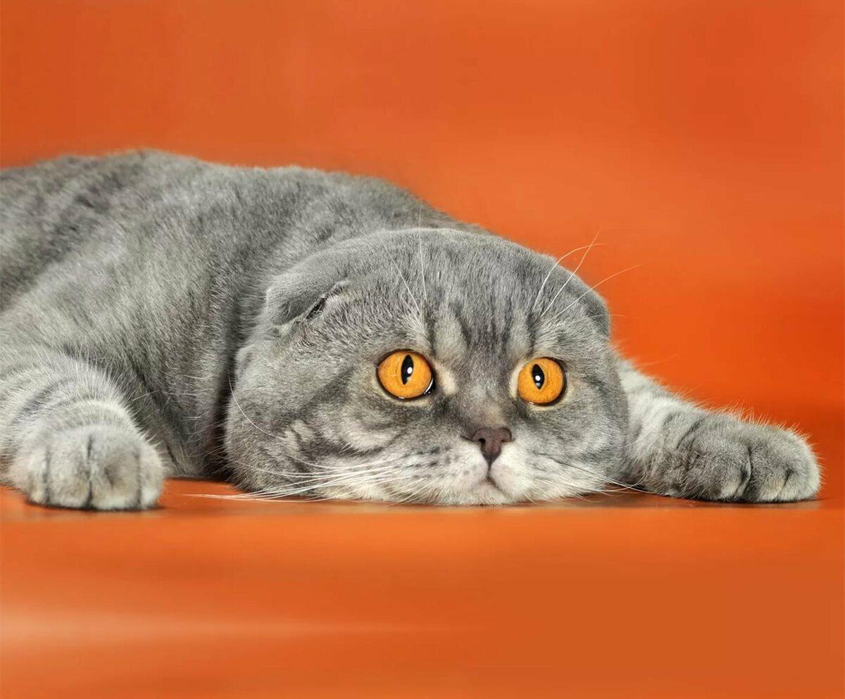 Смотреть картинки шотландских кошек
