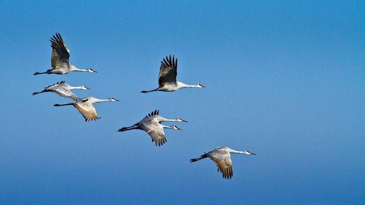 фото журавлей летящих небе