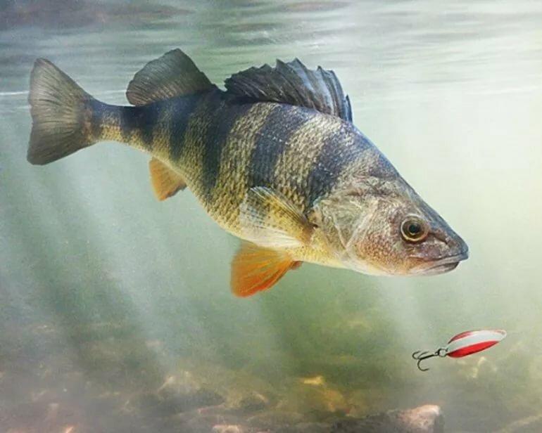 она картинки про рыбу окуня месяц так называется