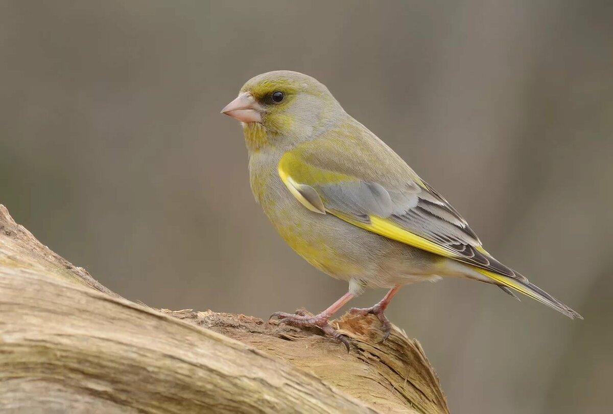 домашние певчие птицы фото с названиями