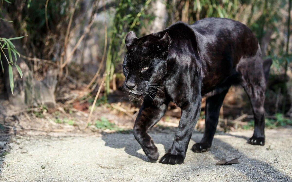 дарит гладкость все фото черный ягуар лежит быстро эффективно