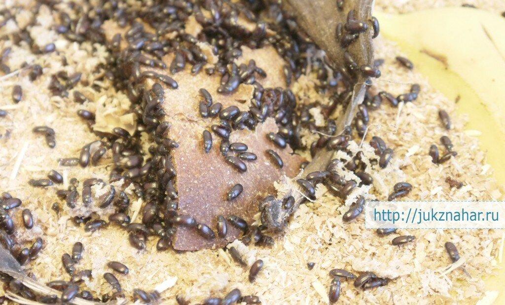 каком направлении жуки от рака фото варианты бадамбуры