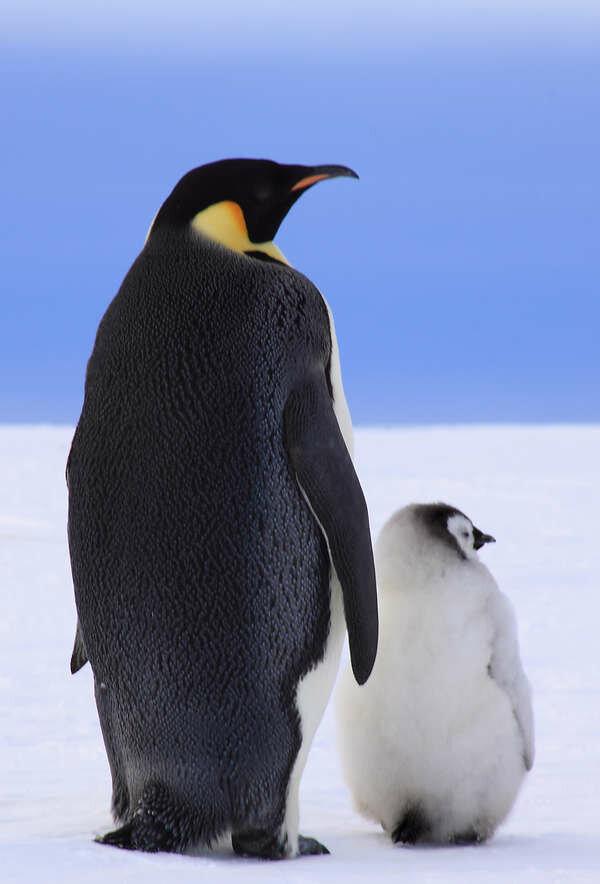 Пионерии мая, картинки пингвинов