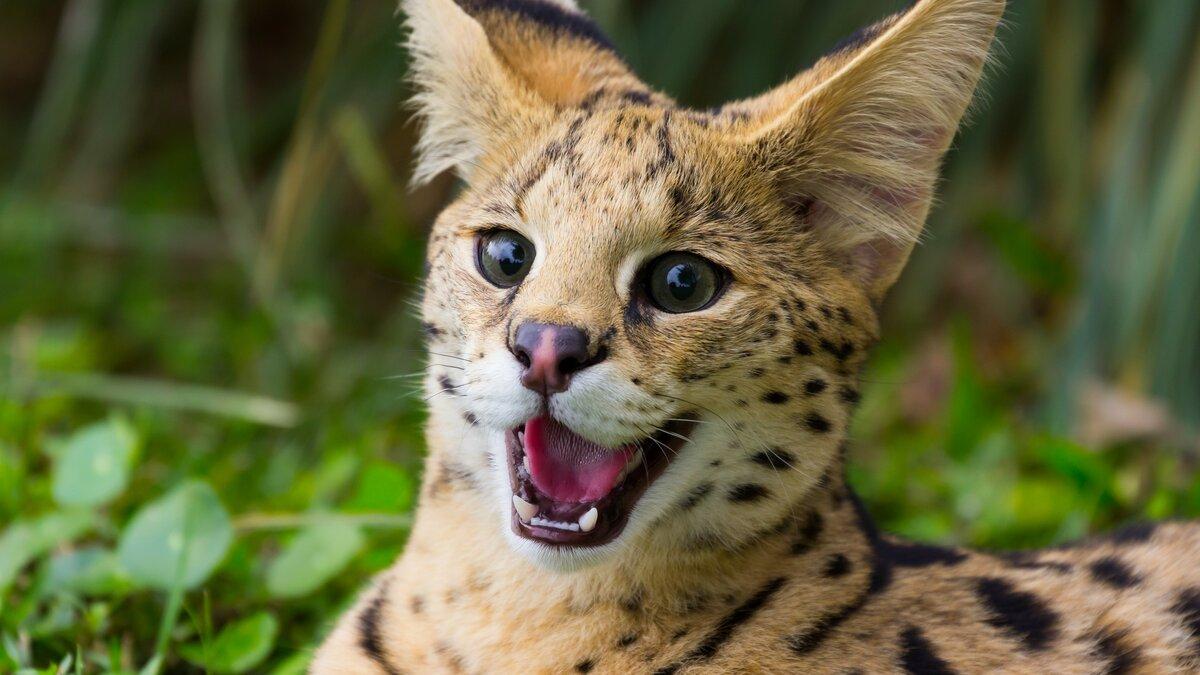 дикие кошки фото и названия в природе эффектный изысканный