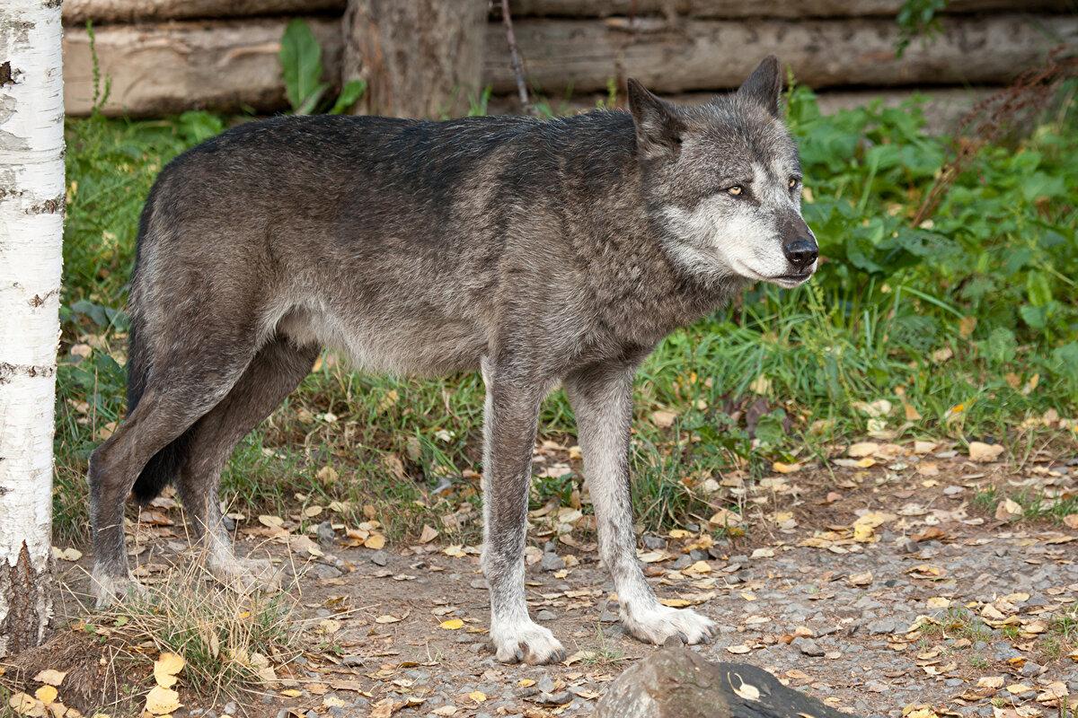 фото грозного волка сегодняшний день это