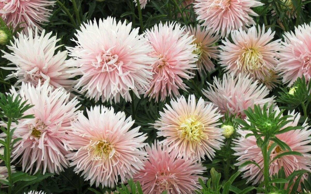 Астра: выращивание из семян, когда сажать на рассаду цветы, советы и рекомендации