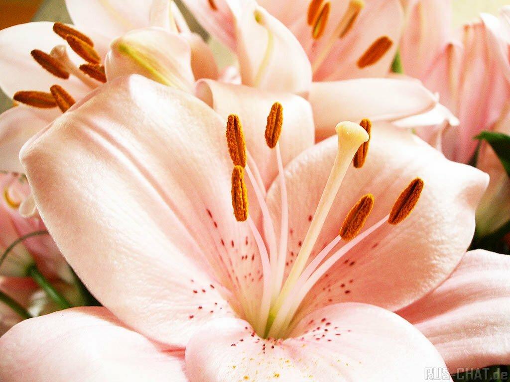 Картинки для девушки лилии