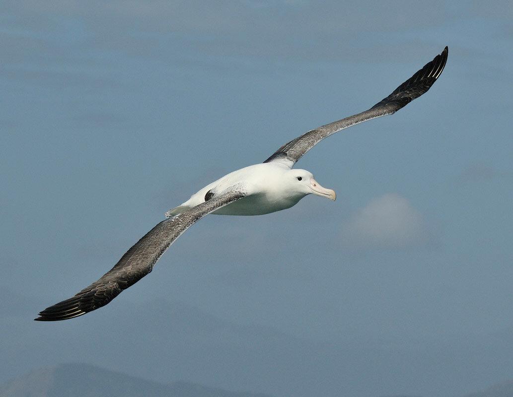 фото птицы альбатрос туристов