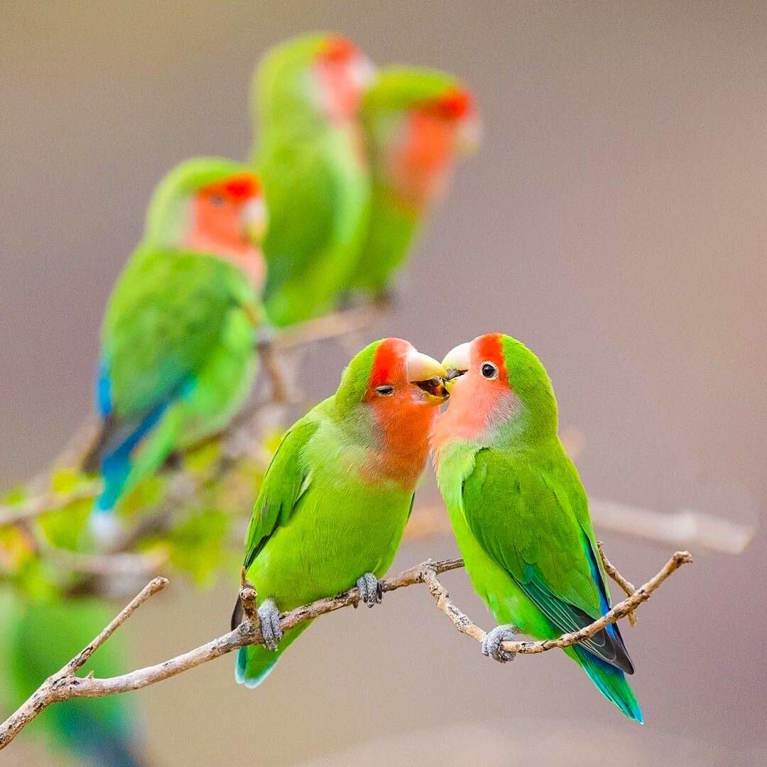 Картинки попугаев неразлучники