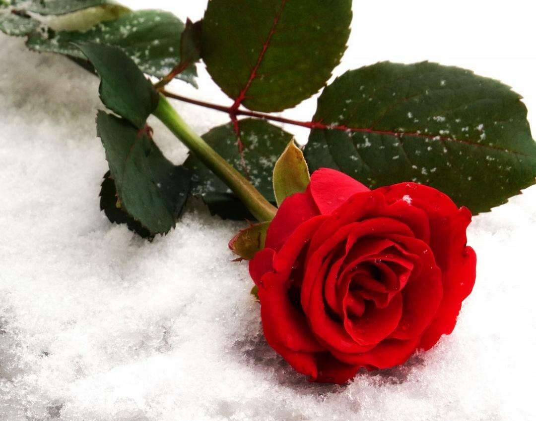 хотя гифы для тебя зимние розы что