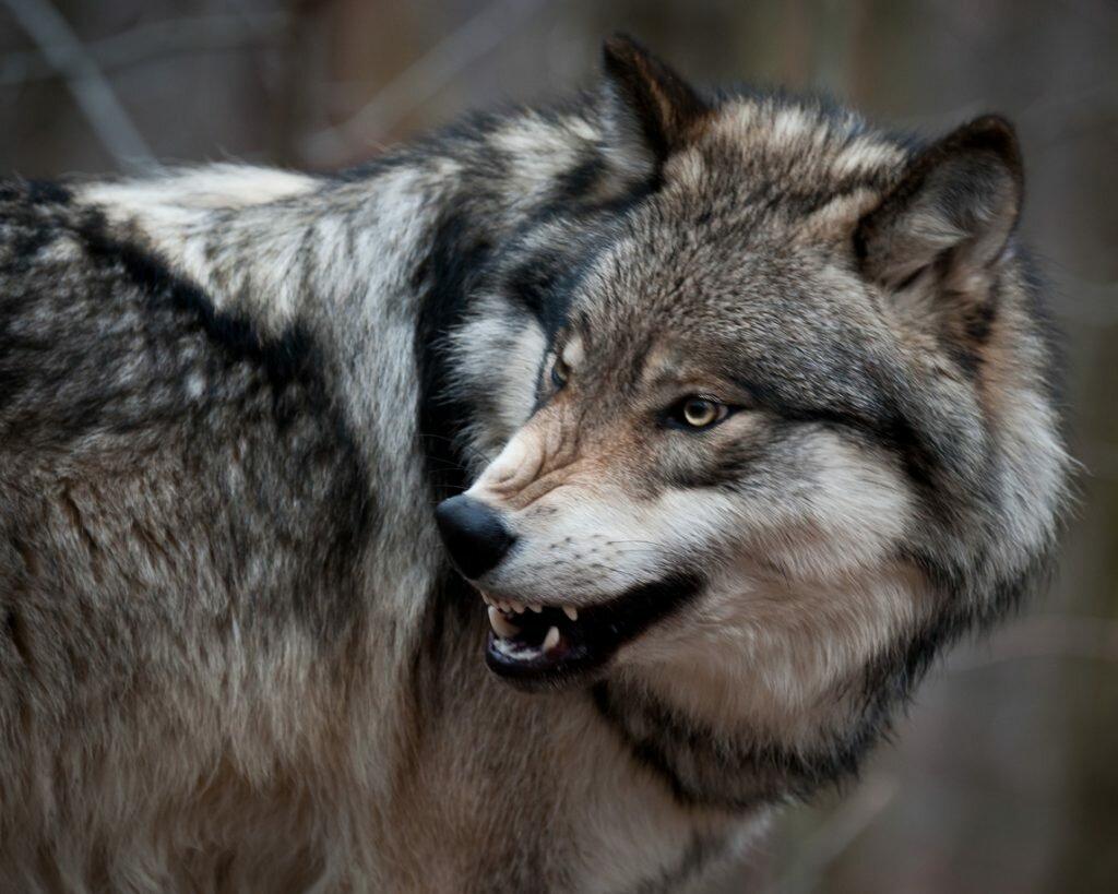 Картинка свободный волк