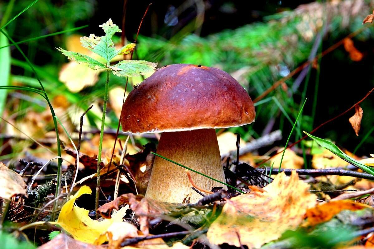 как выглядит гриб белый гриб фото