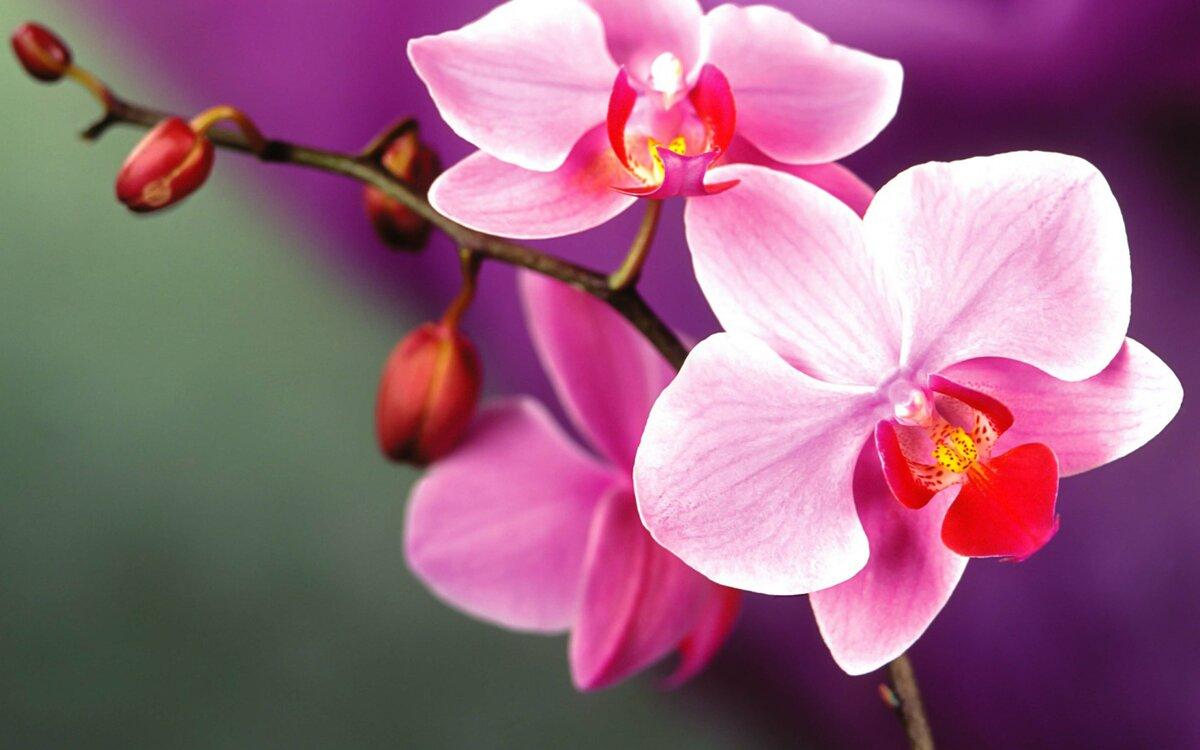 орхидея розовая картинки грудь, закованная