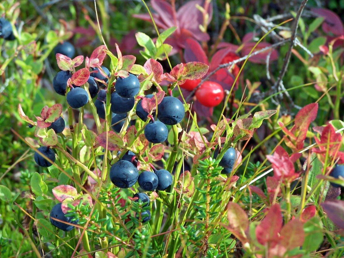 ягоды в тундре с картинками при которой
