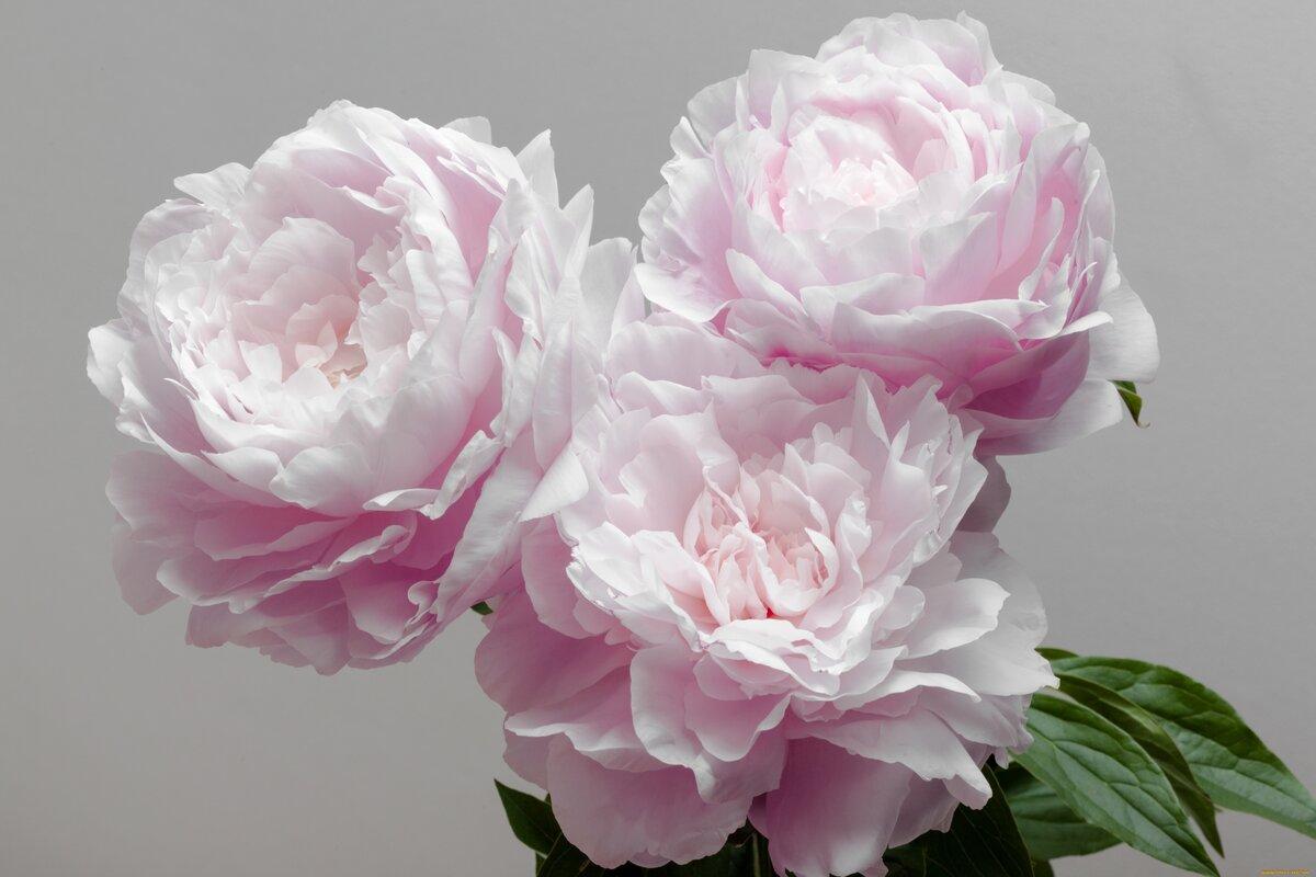 Пион джулия роуз фото долго