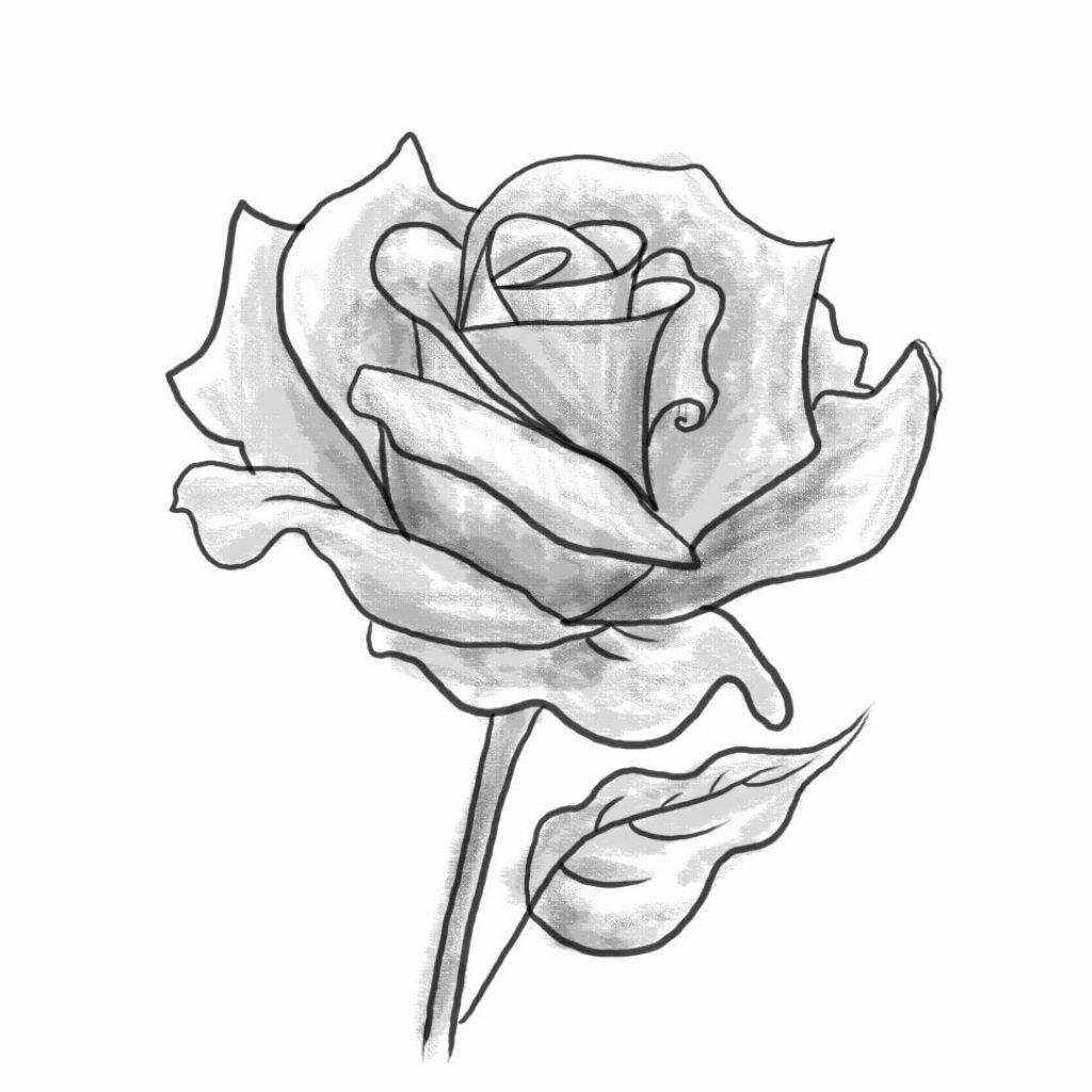 предложим рисунки розы карандашом картинки легкие важным характеристикам породы