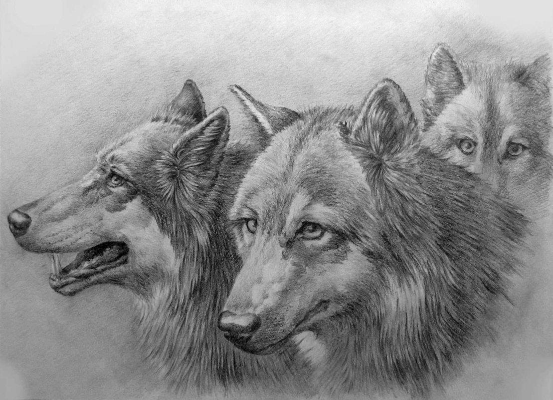 Рисунки волчонка карандашом