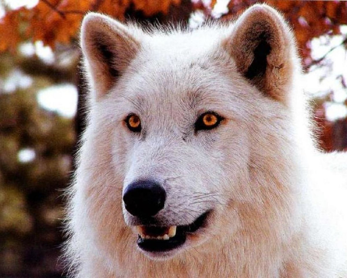 Прикольные надписями, картинки белый волк