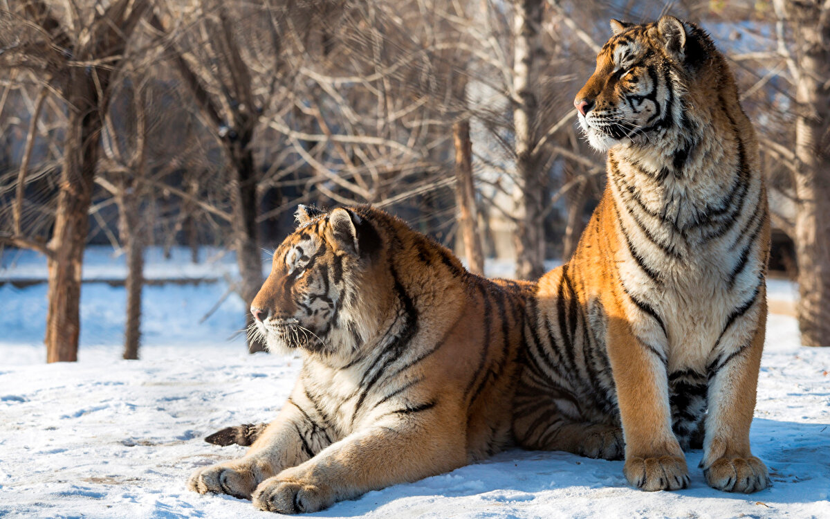 Тигры большие картинки