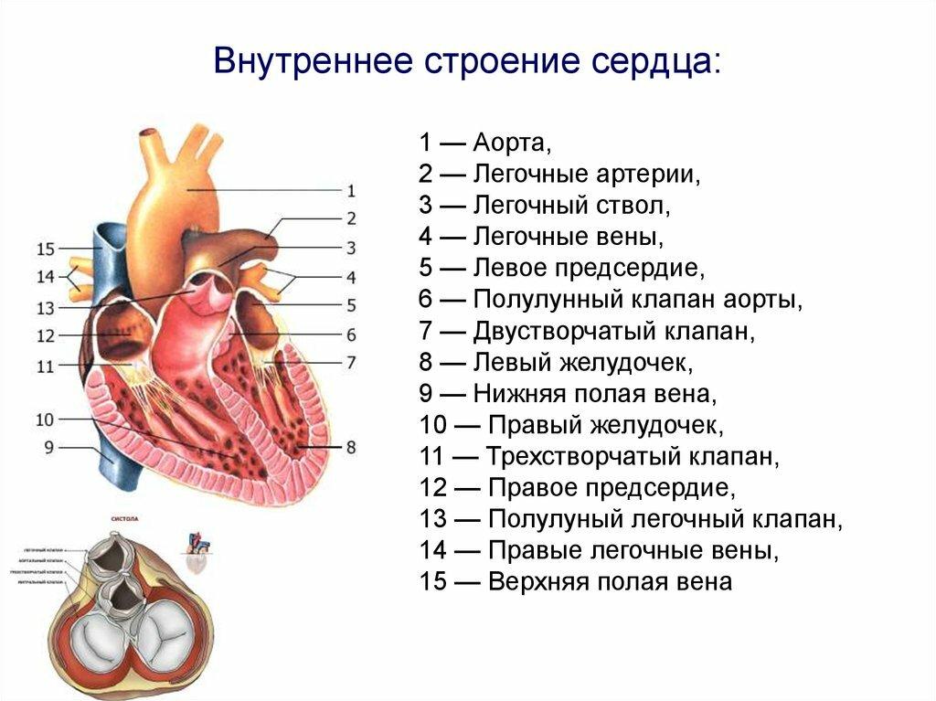 Строение сердце в картинках