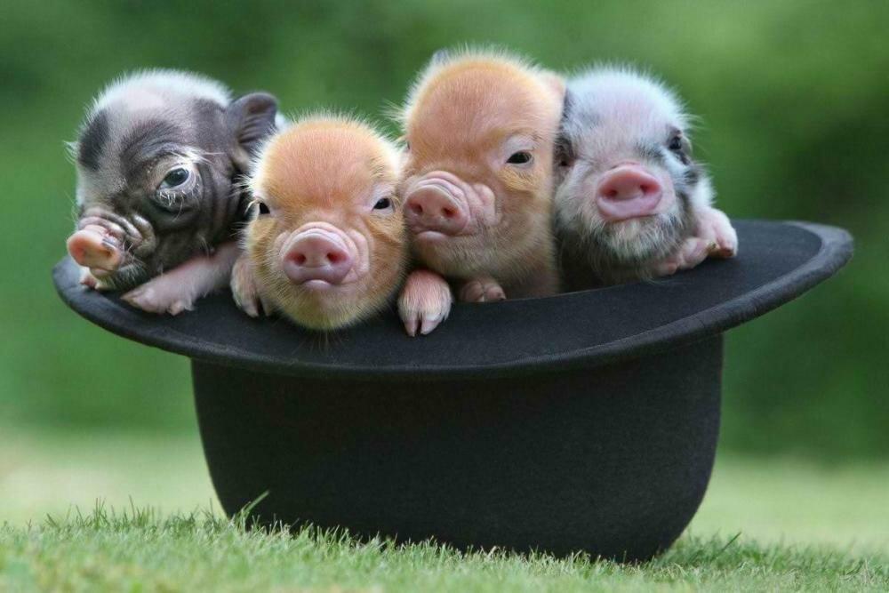 Днем, картинки смешных свинюшек
