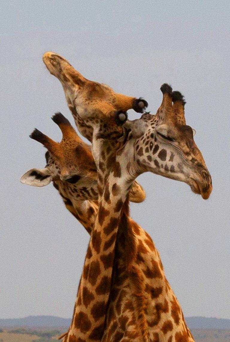 течением картинка три жирафа московской