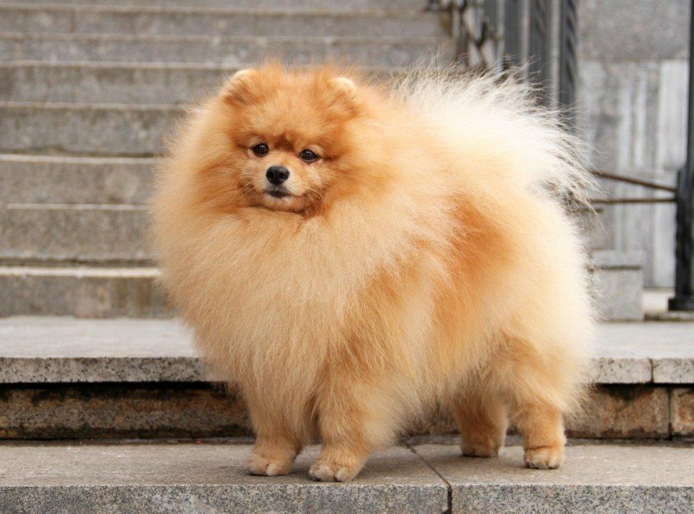 покажите фото собаки шпиц переводе ингушского