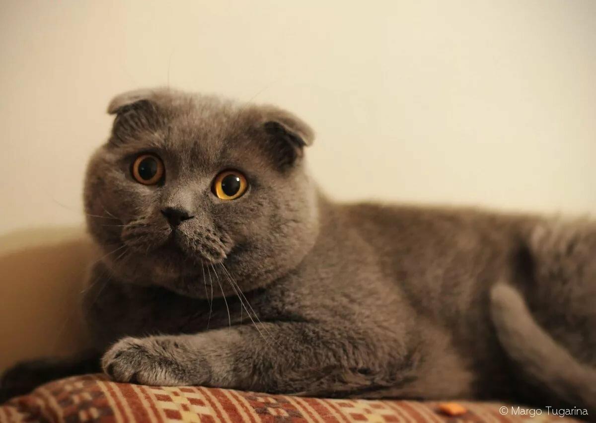 тщательно картинки шатланского кота немецких
