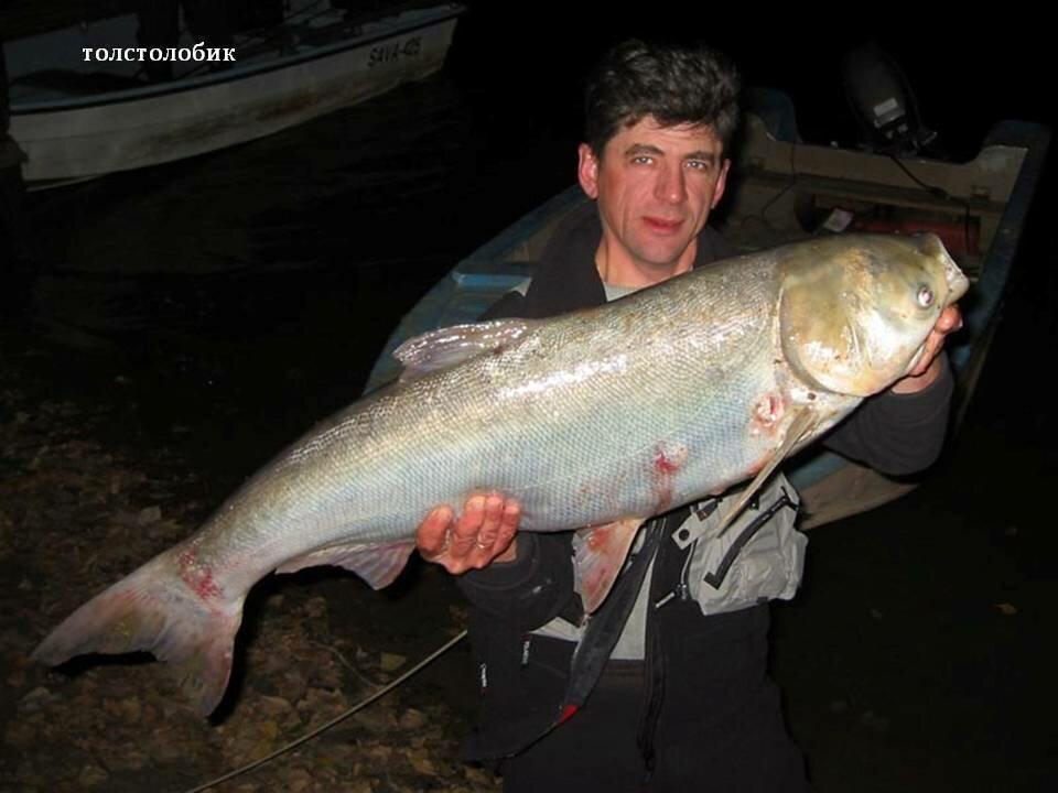 Рыба толстолобик фото и описание