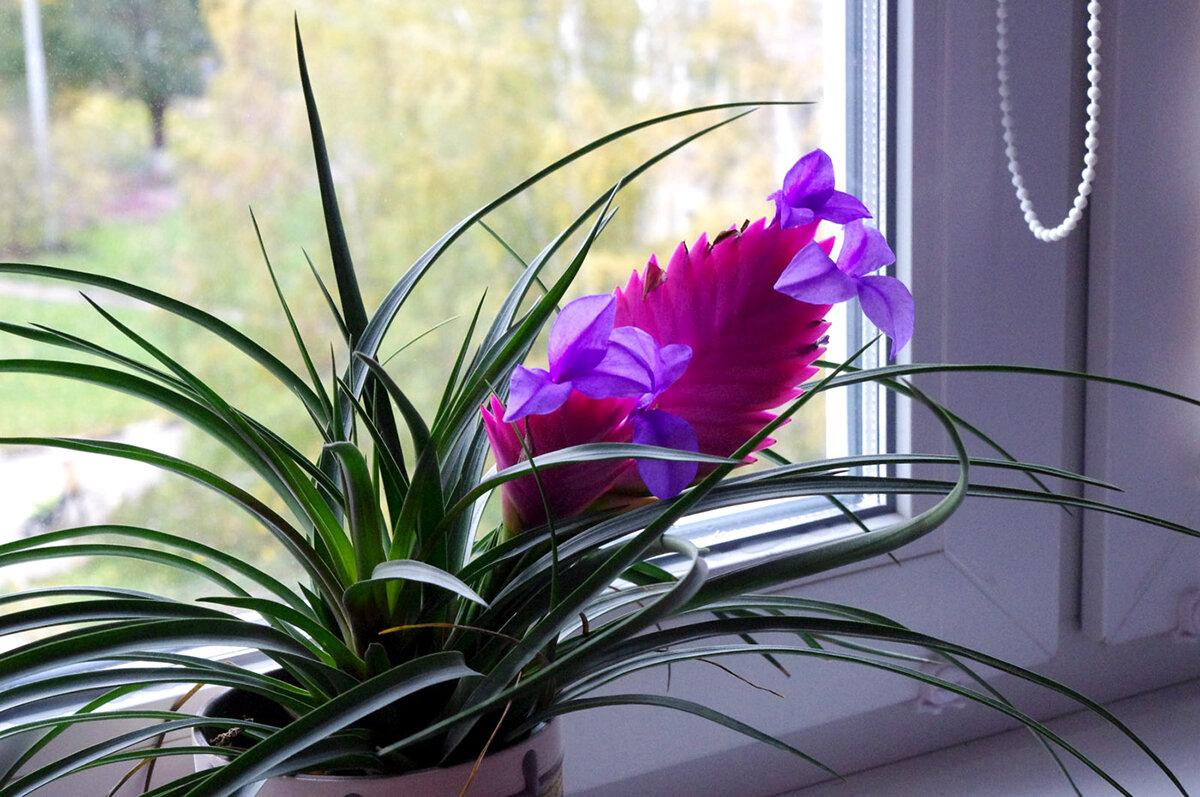 Тилландсия анита и атмосферная: цветение
