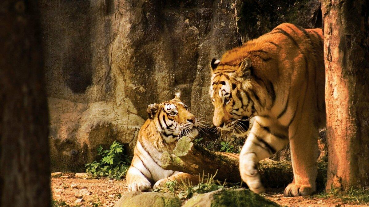 Рисунок, картинки тигры