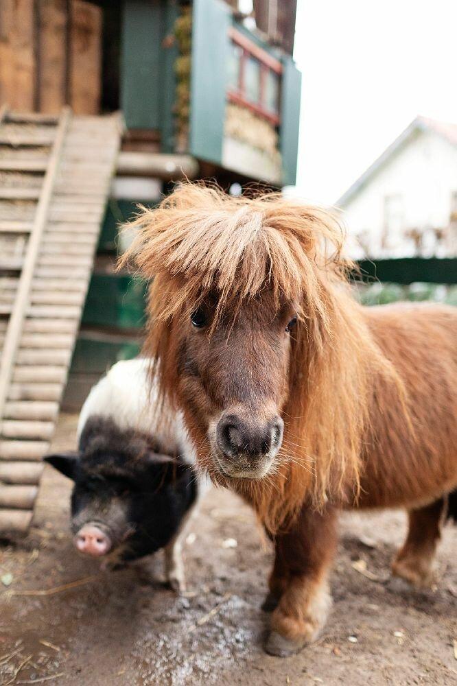картинки животных свиньи лошади них можно