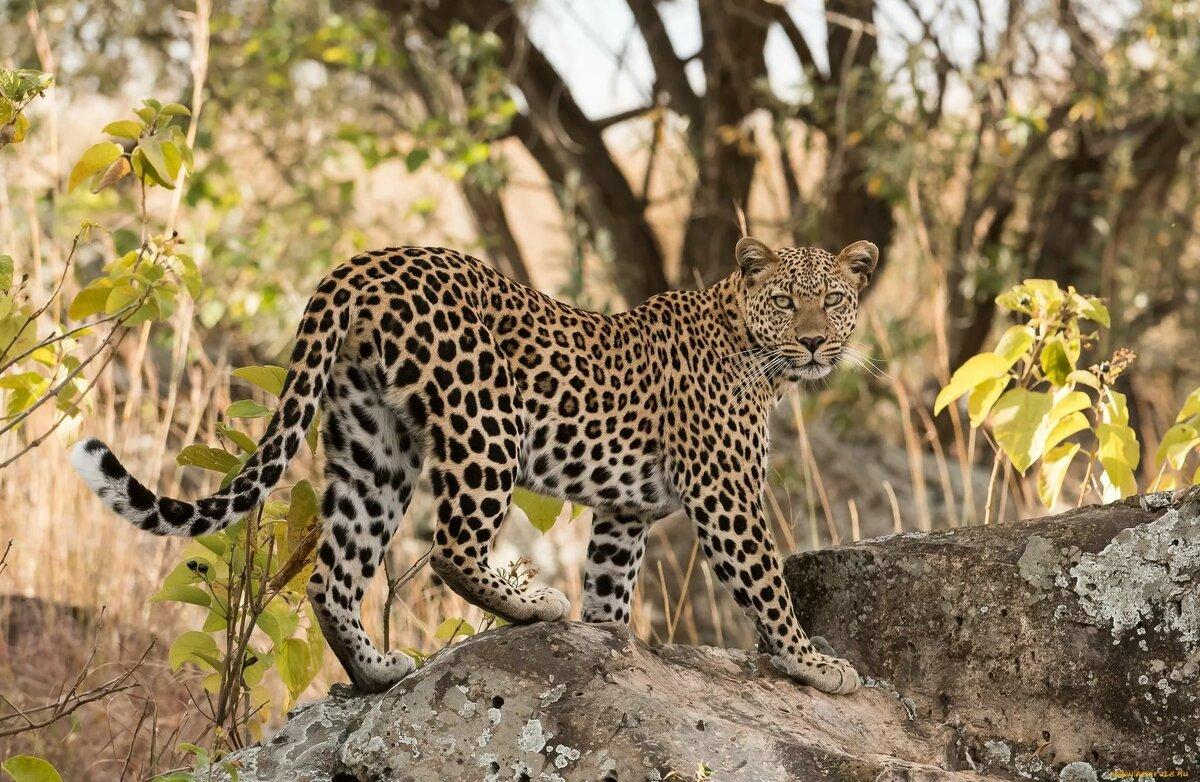 Леопард африки картинки