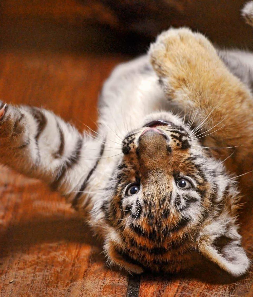 конце картинки маленькой тигрицы сложнейший процесс взаимодействия