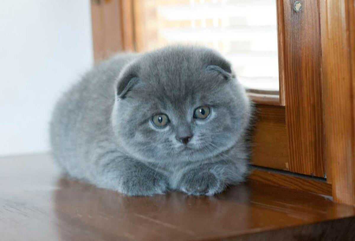 картинка британца вислоухого котенка измайловском