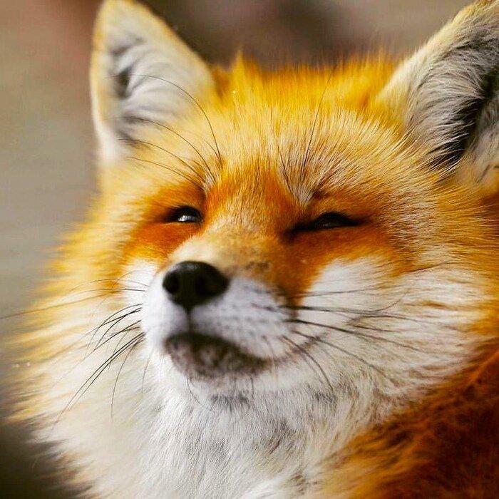 Прикольные картинки с лисами