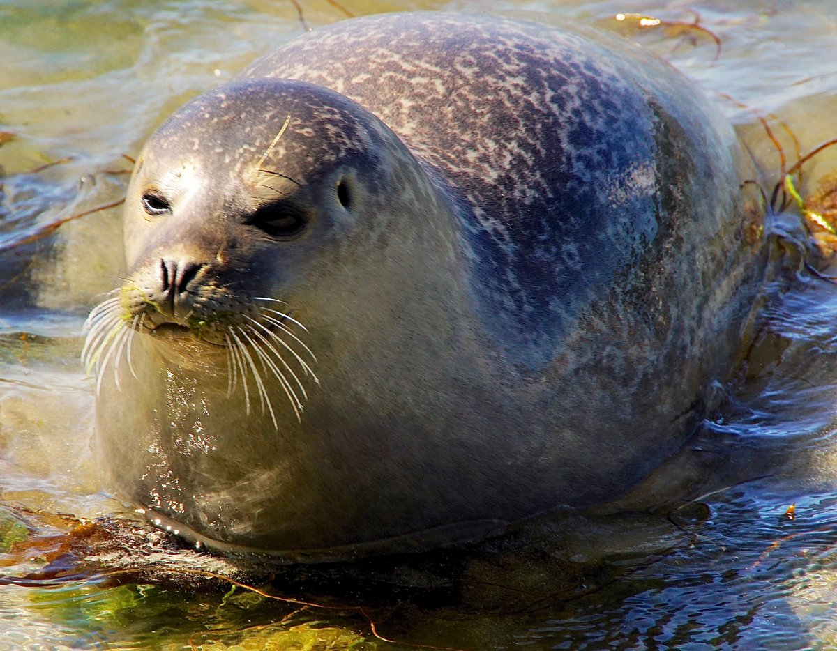 как выглядит тюлень картинка пули