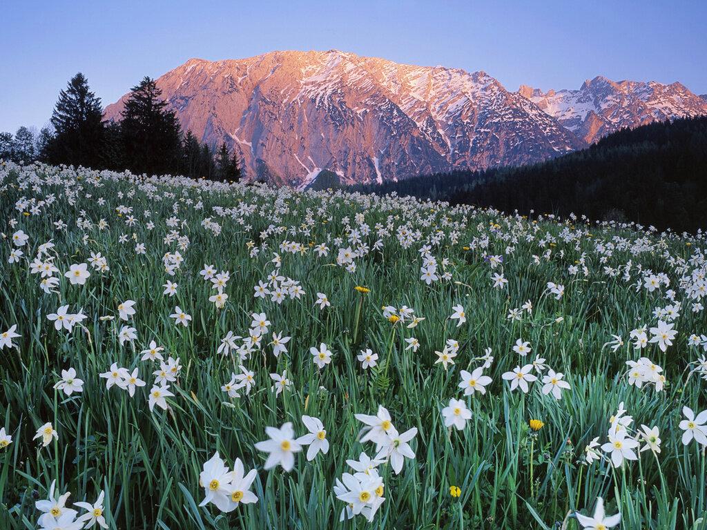 Альпийские луга Австрии удивляют своим цветочным изобилием