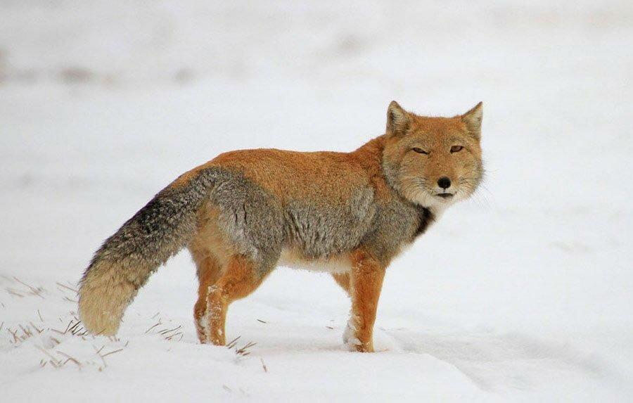 букеты тибетская лисица фото еще каждый