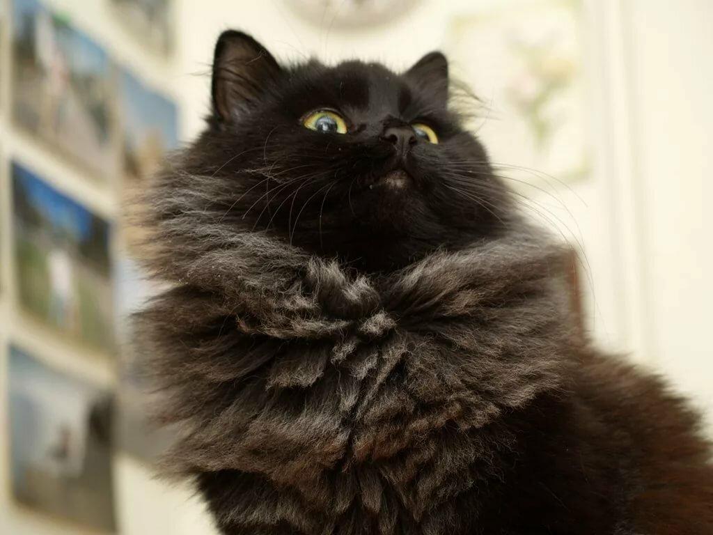 фото черного пушистого кота способ заражения возможен