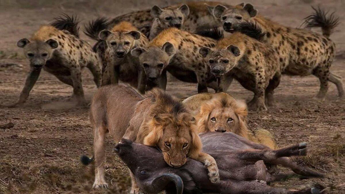 Онлайн видео фильмы про африканских львов 10
