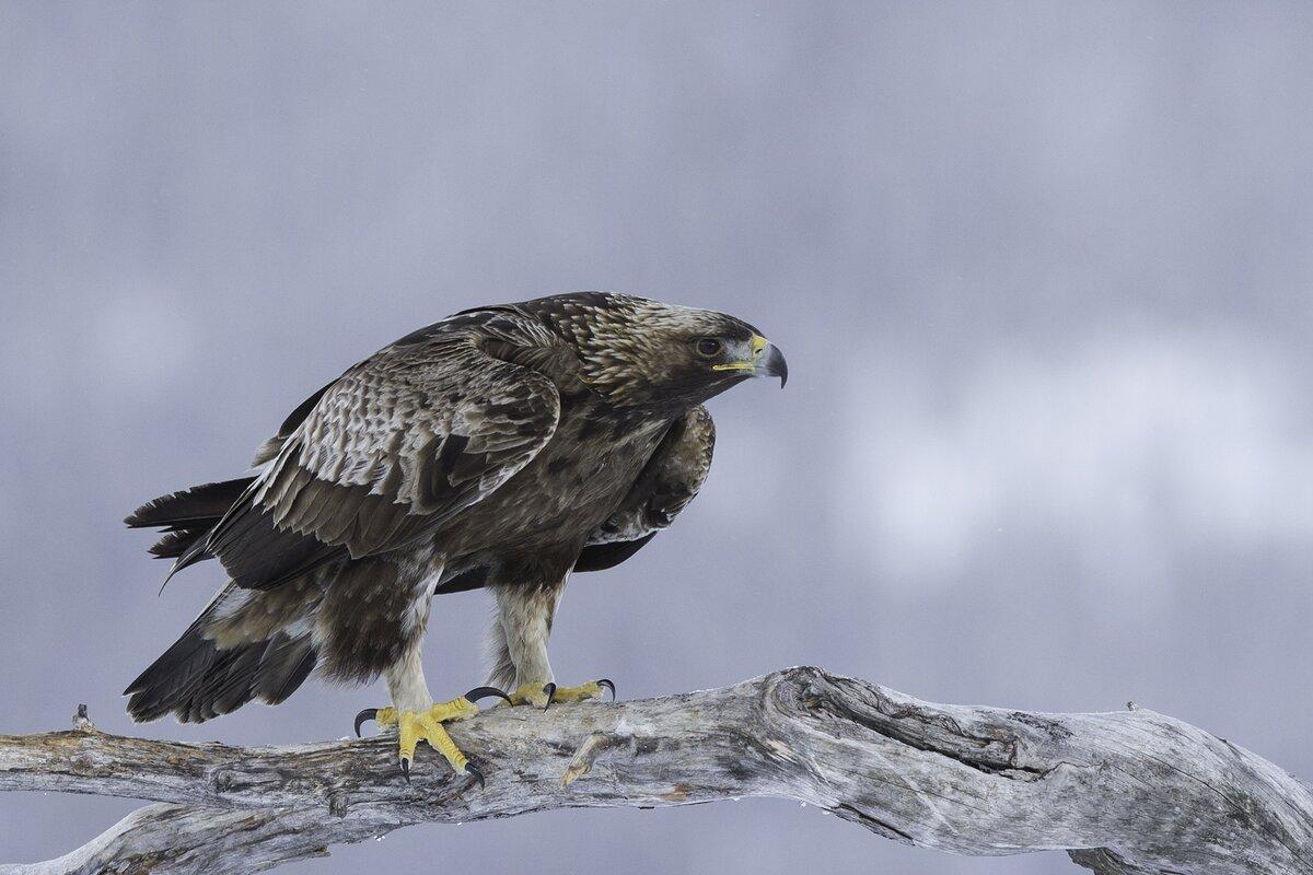 приставы картинки птиц беркуты опубликовал видео